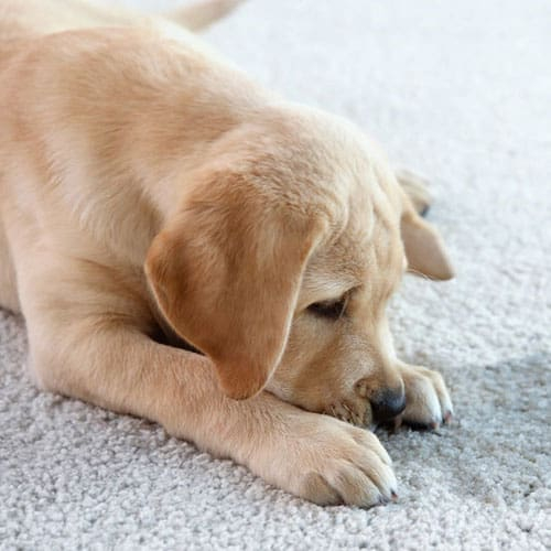 Pet urine stains carpet dry cleaning in Brisbane